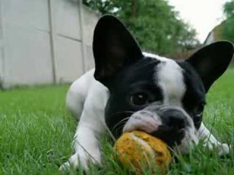 french-bulldog-facts---facts-about-french-bulldogs