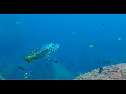 Taiwanee Reef Lake Malawi - African Cichlids - HD Underwater Footage