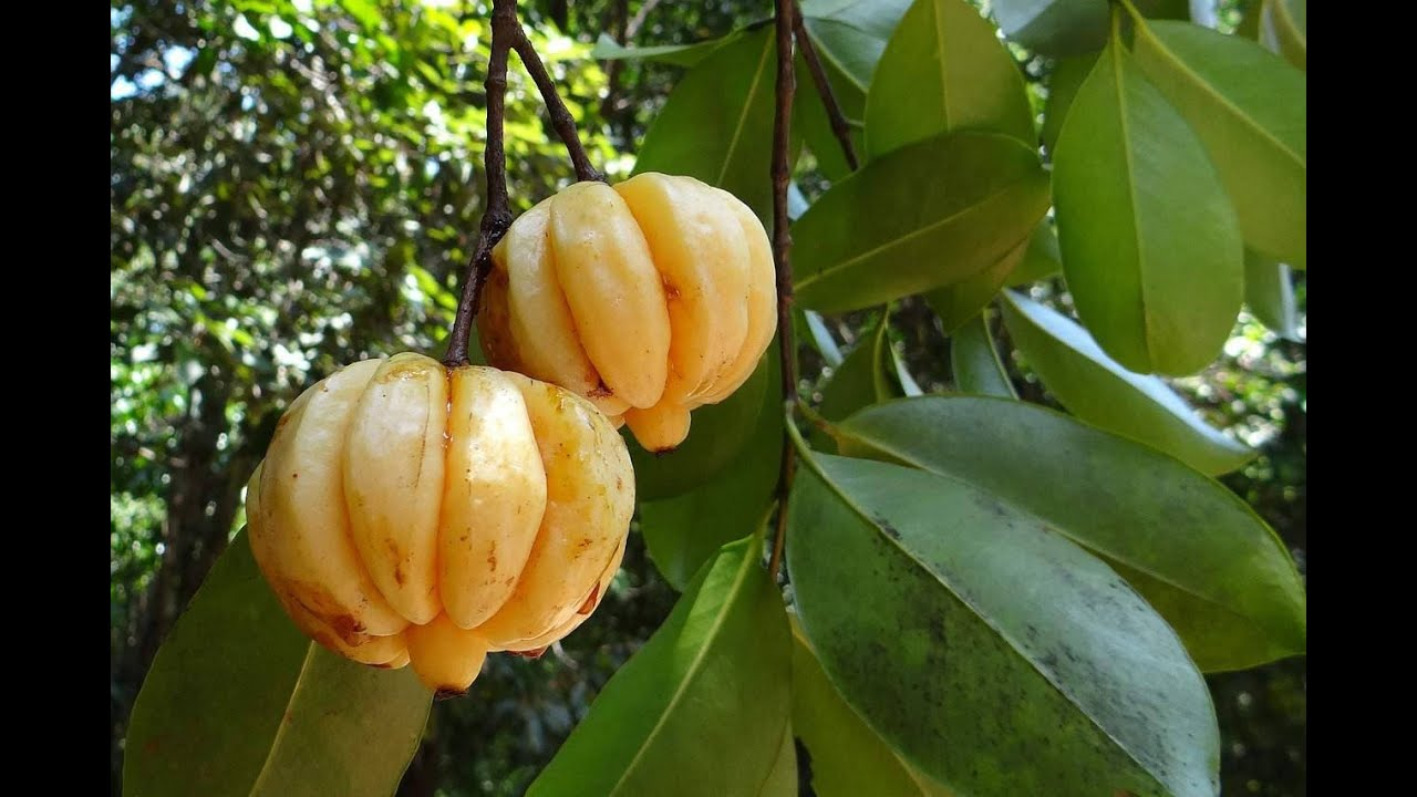 Garcinia Cambogia Fruit Tree Youtube