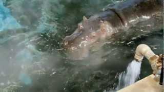 八木山動物園 カバ温泉。 冬場の八木山動物園は寒いので、 カバ君は温泉...
