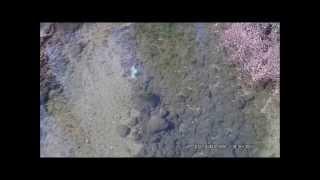 Truites farios postées gobages (ruisseau en Aveyron)