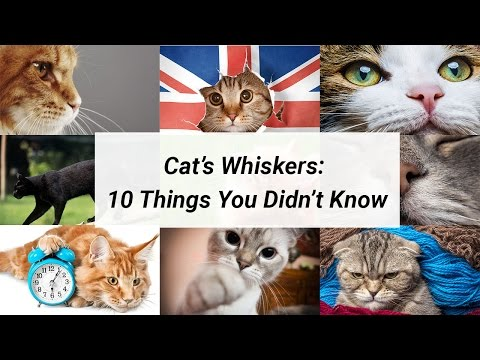 Cat Whiskers - 10 Things You Didn't Know About Cat Whiskers