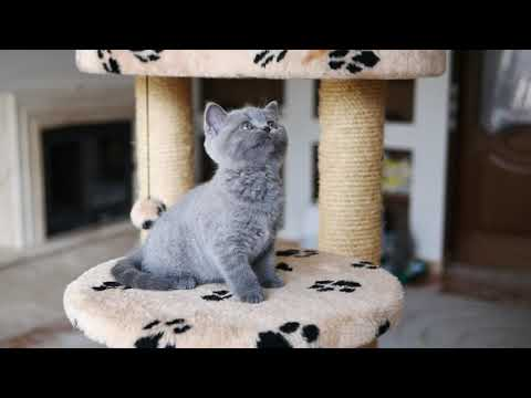 Британская кошка Джуна в возрасте 8 недель