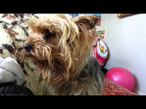 cute yorkie crying for have a walk