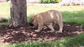 English Mastiff Puppies For Sale