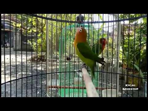 Lovebird paud 2,5bulan Fighter abiz!