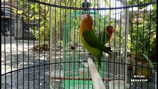 Video Lovebird paud 2,5bulan Fighter abiz! download MP3, 3GP, MP4, WEBM, AVI, FLV Agustus 2018