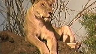 NATGEO DOCUMENTARY - AFRICA ~~ BIG CATS ~~ Full Documentary HD