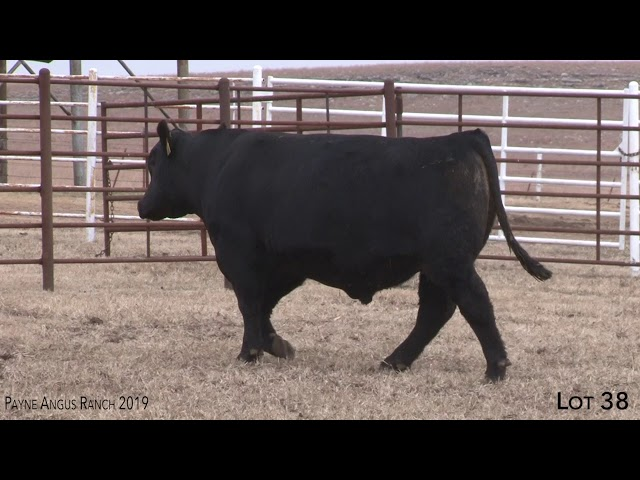 Payne Angus Ranch Lot 38