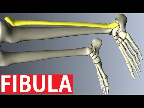 Fibula Anatomy - Lower Limbs Anatomy Tutorial