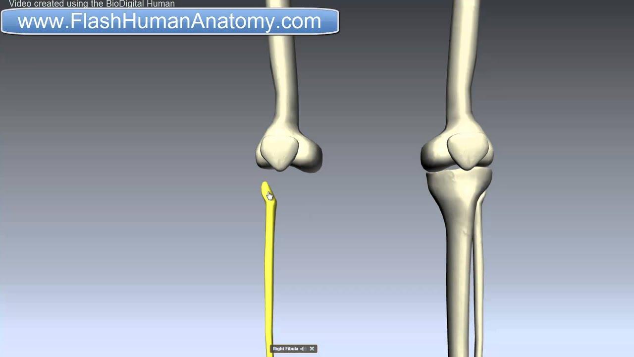 Fibula Anatomy Lower Limbs Anatomy Tutorial Youtube