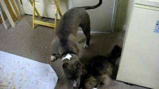 American Bully Dog & Norwegian Forest Cat are Buddies.AVI