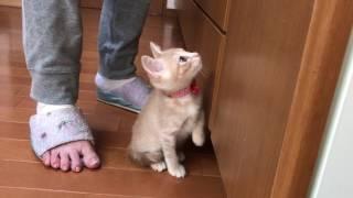 撮影されることに怒る子ねこ  The kitten is angry at being photographed thumbnail