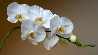Орхидея. Цветение и уход.(Комнатная орхидея фаленопсис неприхотлива. Соблюдая некоторые нехитрые правила ухода можно обеспечить..., 2016-06-05T19:38:48.000Z)
