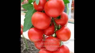 видео Зеленые помидоры - что с ними делать?