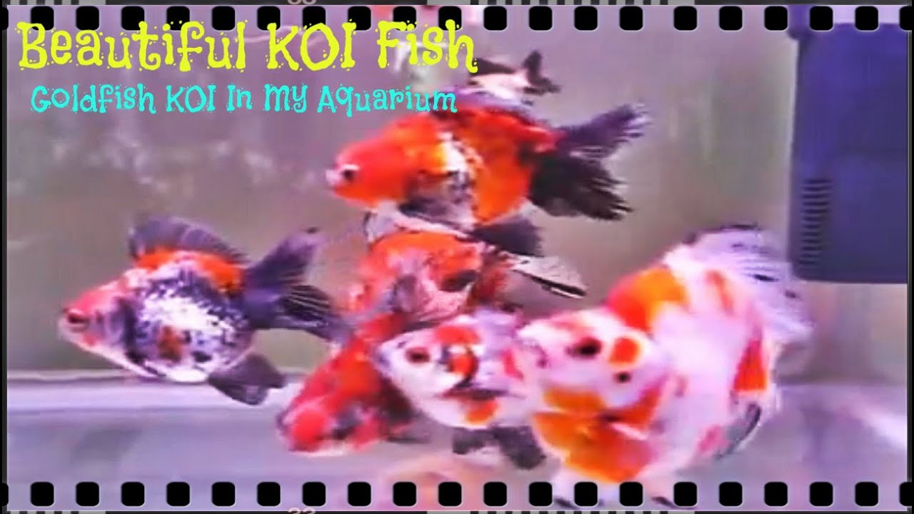 Koi fish in aquarium care - Beautiful Koi Fish Goldfish Koi Fish In Aquarium