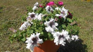 Смотреть видео Как вырастить ампельную петунию, основные правила посадки и ухода за цветком