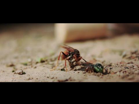 La danza de los insectos - VideoClip - Polo Cortés