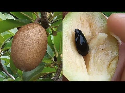 diabetes de frutas chikoo