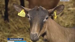 Молоко от альпийских коз