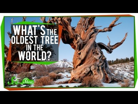 What's The Oldest Tree in the World?