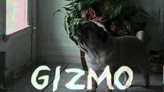 Gizmo  Florida Pug Rescue
