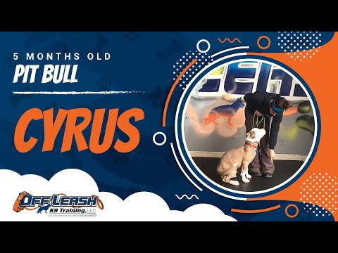 5-Month Old Pit Bull, Cyrus!  Pit Bull Dog Training | Off Leash Pit Bull Training