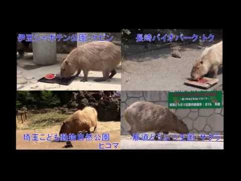 4つの動物園対抗 カピバラの長風呂対決開催!