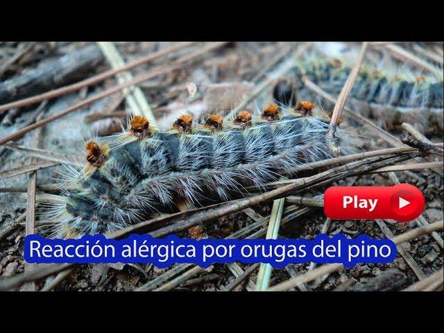 Alergia en perros por oruga procesionaria del pino