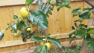 Người Việt tại Mỹ: cây trái quanh nhà