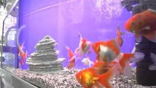Золотые Рыбки Вуалехвосты . Все О Домашних Животных.