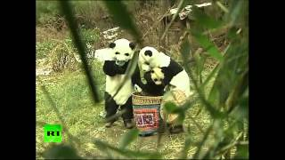 Bamboo-zling Baby Bear: Chinese researchers dress as pandas prepare cub for wild