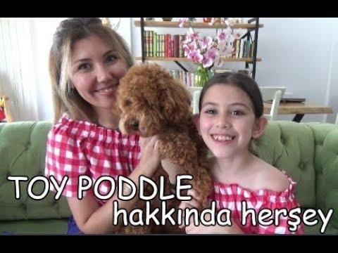 Toy Poddle hakkında herşey! | Köpeğimiz Kivi