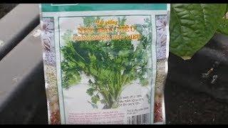 Cách gieo hạt ngò Bạc Liêu ( Ngò Rí ) ... hihihi ^^!!   Khoa Hien 65