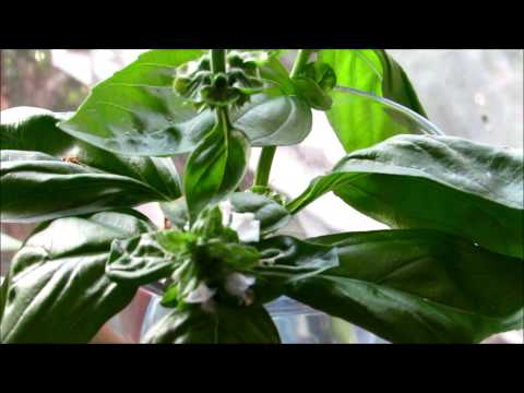 how to grow basil in water