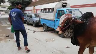 Qurbani cow with  cowgirl Eid UL azha amazing  cow in Karachi