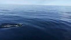 Nyfikna Tumlare i Kattegatt (Porposies in Swedish water)