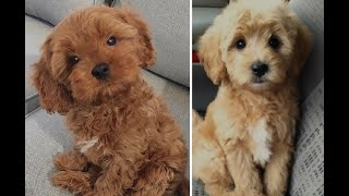 Cavoodle vs Cockapoo Puppies and Full Grown Dogs  Similarities and Differences