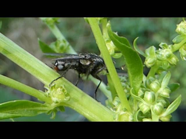 Spinacia oleracea -  Spínat í blóma -  Blómsveifa - Flugur - Garðrækt