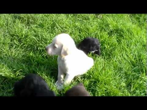 Springerdor Puppies For Sale Doncaster Uk