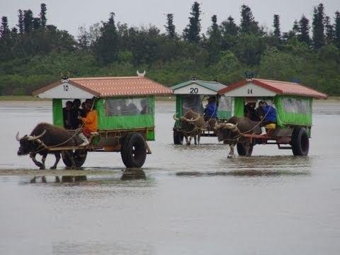 水牛車で由布島へ Water buffalo cart to Yubu Island