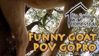Funny Goat POV Gopro HD