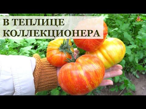 В теплицах коллекционера лучших сортов томатов 2020!