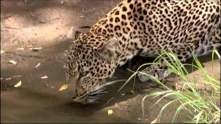 Big Cat Diary - The Lions, The Leopards & The Cheetah's