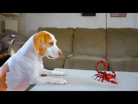 Dog vs. Toy Scorpion: Funny Dog Maymo