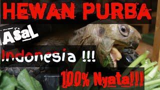 Gohan The Giant Manouria Emys Tortoise (Kura-Kura Kaki Gajah)| Vlog#9
