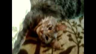 Видео на телефон fly mc100 помещение(кот барсик., 2013-07-21T10:18:21.000Z)