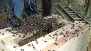 New swarm gets moved into the top bar hive nuc