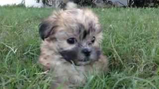 Tiny Malshi Maltese/shih Tzu Pups For Sale Florida