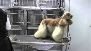 American Cocker Spaniel- Body- Neck (clipped Back)